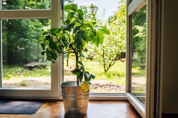 zitronenbaum-wintergarten